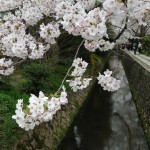 今年の桜の写真を貼らないか?